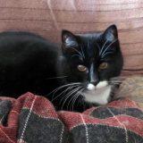 Snälla katten Lillstrimma söker hem
